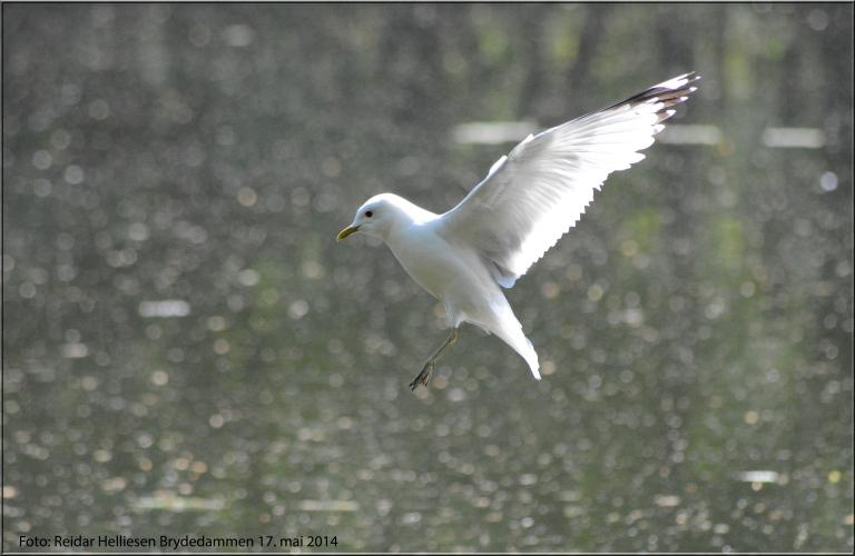 Fuglene danset og fløy på vannoverflaten denne 17. mai. Jeg fikk et blinkskudd fra Brydedammen i Preståsen.